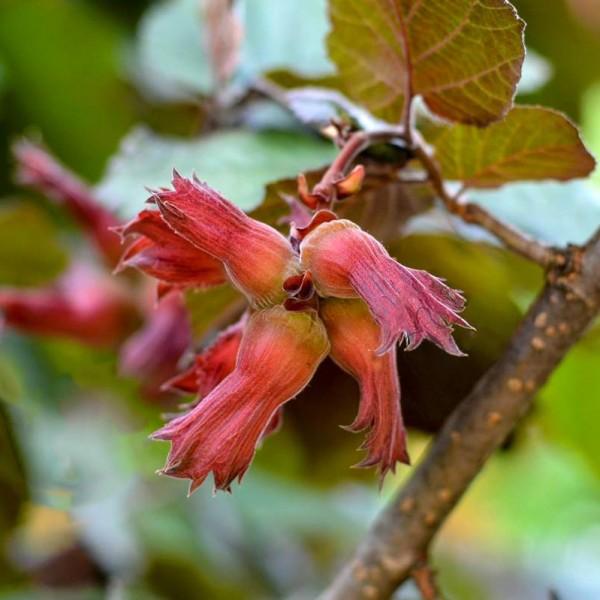 Alun rosu Purpurea - Arbusti fructiferi - AgroDenmar.ro