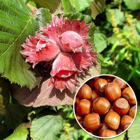 Alun rosu Rode Zellernoot - Arbusti fructiferi - AgroDenmar.ro