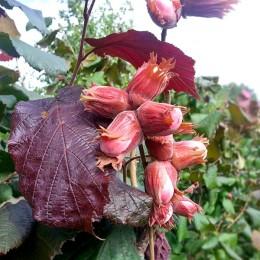 Alun rosu Syrena - Arbusti fructiferi - AgroDenmar.ro