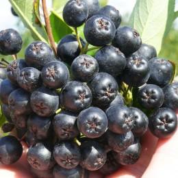 Aronia melanocarpa Nero - pe rod - Arbusti fructiferi - AgroDenmar.ro