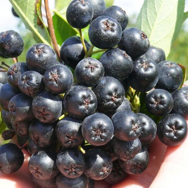 Aronia melanocarpa Nero - Arbusti fructiferi - AgroDenmar.ro
