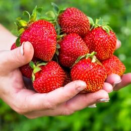 Capsuni Elegance - Arbusti fructiferi - AgroDenmar.ro