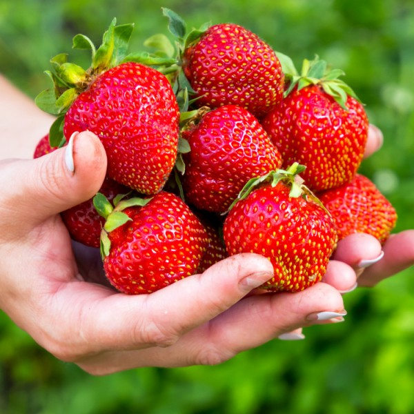 Capsun Elegance - Arbusti fructiferi - AgroDenmar.ro