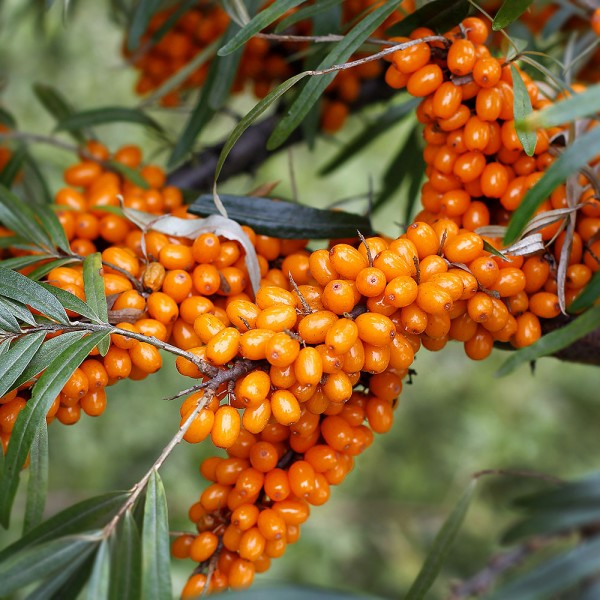 Arbusti fructiferi - Catina alba Ovidiu - set 4 buc