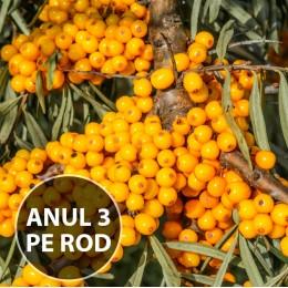 Catina alba pe Rod - set 5 buc - Arbusti fructiferi - AgroDenmar.ro