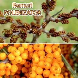 Catina alba Polenizator - Arbusti fructiferi - AgroDenmar.ro