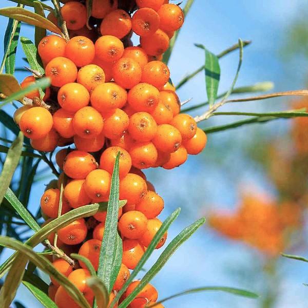 Arbusti fructiferi - Catina alba selectie soiuri - set 6 buc