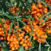 Arbusti fructiferi - Catina alba Serpenta - set 4 buc