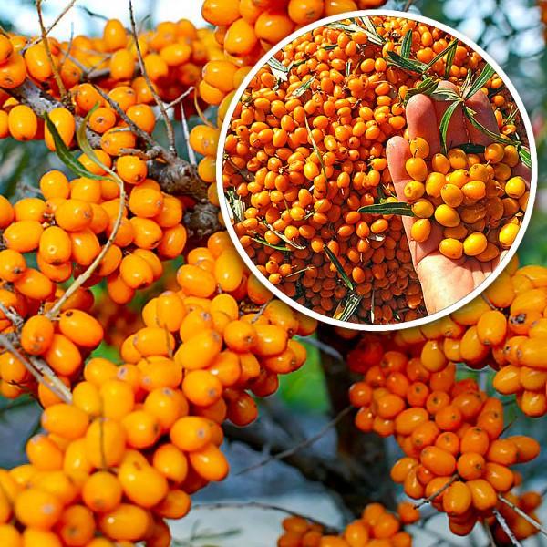 Catina alba Serpenta - set 4 buc - Arbusti fructiferi - AgroDenmar.ro