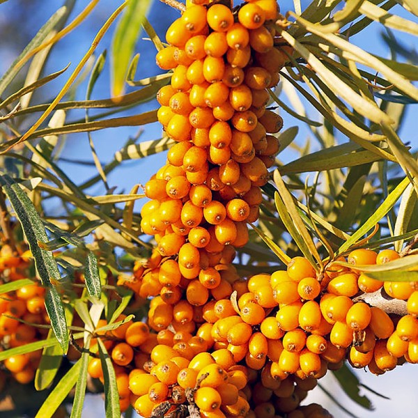 Arbusti fructiferi - Catina alba Auras - set 4 buc
