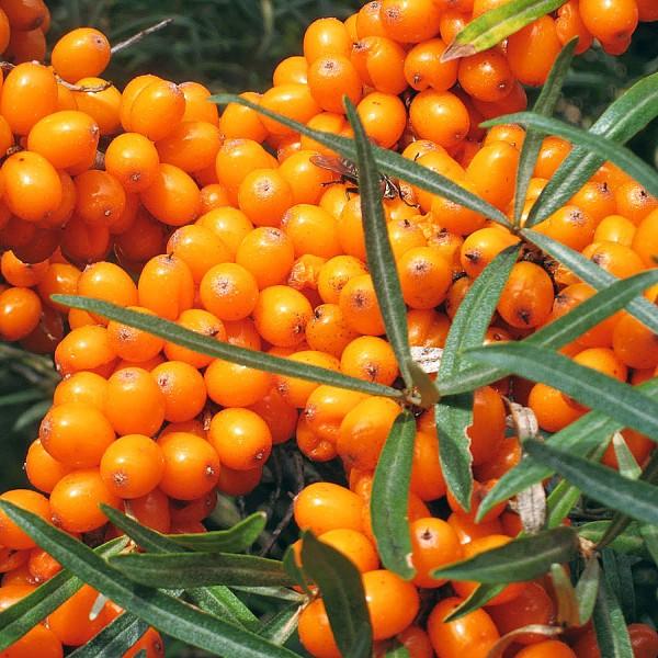 Catina alba Diana - set 4 buc - Arbusti fructiferi - AgroDenmar.ro