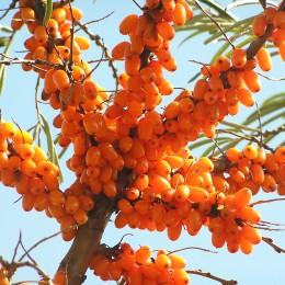 Catina alba Victoria - set 4 buc - Arbusti fructiferi - AgroDenmar.ro