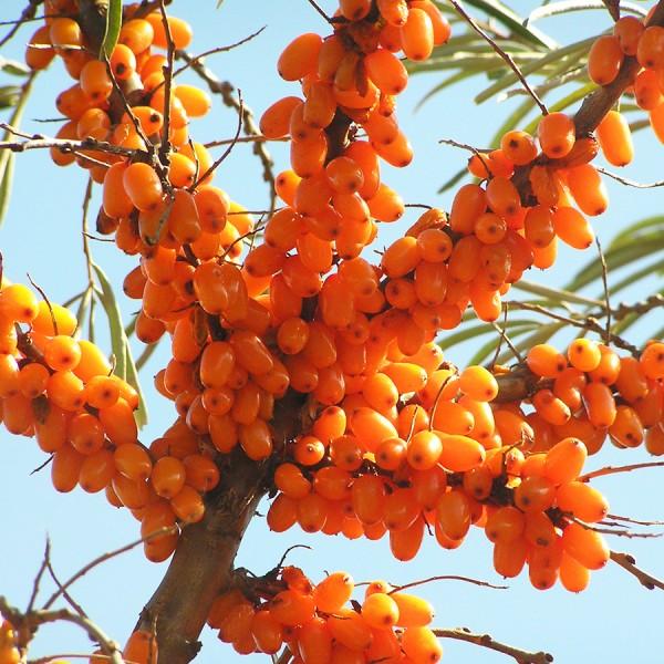 Arbusti fructiferi - Catina alba Victoria - set 4 buc