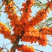 Arbusti fructiferi - Catina alba - set 3 soiuri