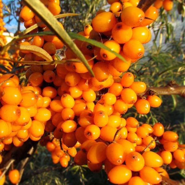 Arbusti fructiferi - Catina alba Tiberiu - set 4 buc