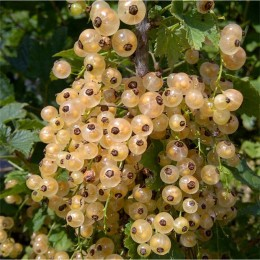 Coacaz alb Blanka pe rod - Arbusti fructiferi - AgroDenmar.ro