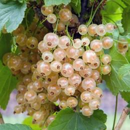 Coacaz alb Blanka - tulpina inalta altoit - Arbusti fructiferi - AgroDenmar.ro