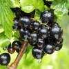 Coacaz negru Titania - tulpina inalta altoit