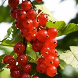 Coacaz rosu Detvan pe rod - Arbusti fructiferi - AgroDenmar.ro