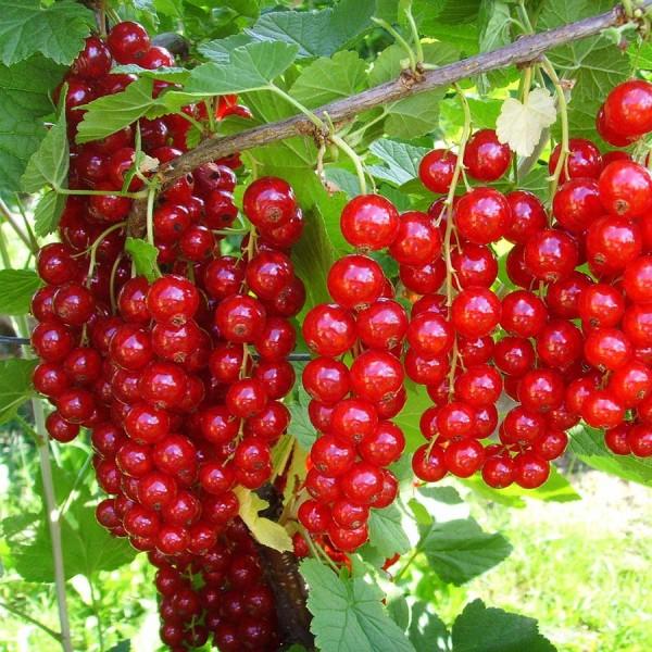 Arbusti fructiferi - Coacaz rosu Detvan - tulpina inalta altoit