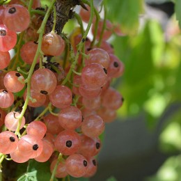 Coacaz roz Lubawa pe rod - Arbusti fructiferi - AgroDenmar.ro