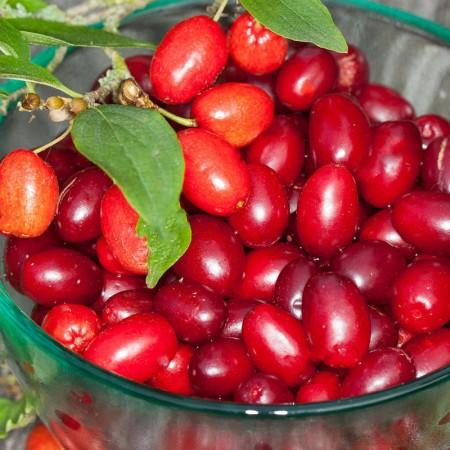 Corn - Cornus mas - Arbusti fructiferi - AgroDenmar.ro