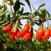 Arbusti fructiferi - Goji Ningxia NQ1 - set 8+2 Gratuit