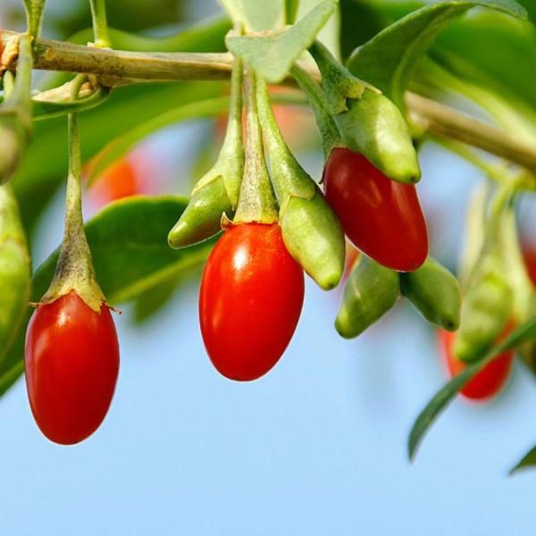 Goji Ningxia NQ1 - Arbusti fructiferi - AgroDenmar.ro