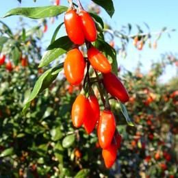 Goji Ningxia NQ1 - 100 bucati - Arbusti fructiferi - AgroDenmar.ro