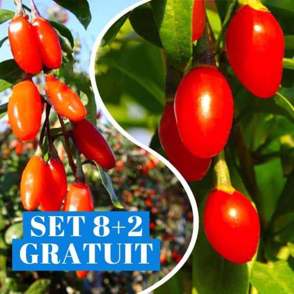 Goji Ningxia NQ1 - set 8+2 Gratuit - Arbusti fructiferi - AgroDenmar.ro