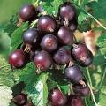 Josta ( hibrid agris si coacaz ) tulpina inalta altoit