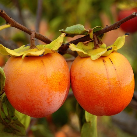 Kaki Jiro - Arbusti fructiferi - AgroDenmar.ro