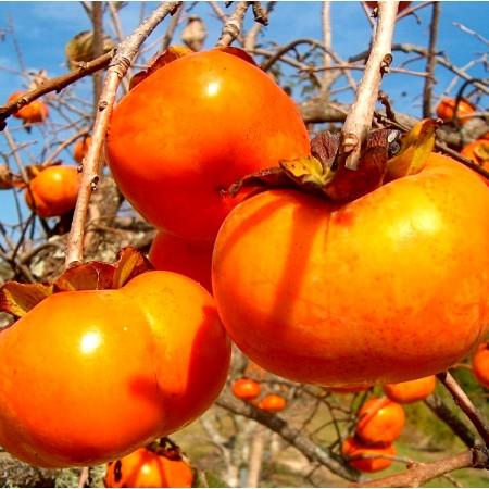 Kaki Tipo - Arbusti fructiferi - AgroDenmar.ro
