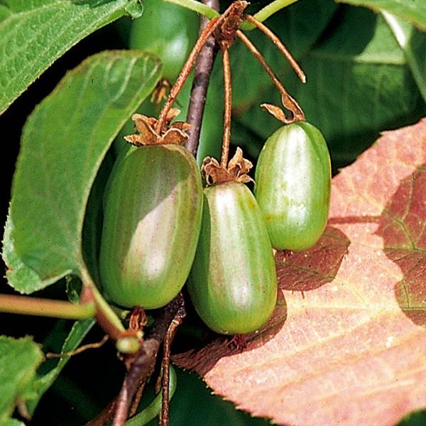 Kiwi Dr.Szymanowski - Arbusti fructiferi - AgroDenmar.ro