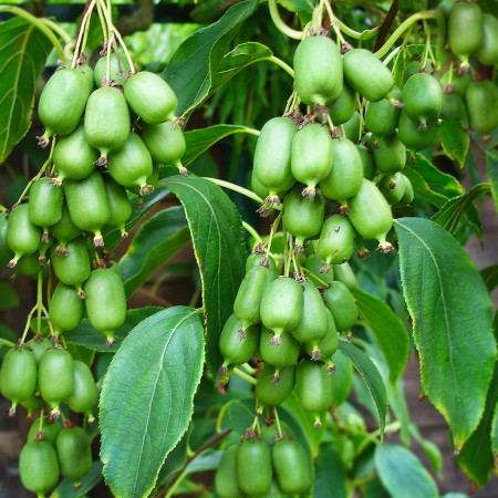 Kiwi Issai - Arbusti fructiferi - AgroDenmar.ro