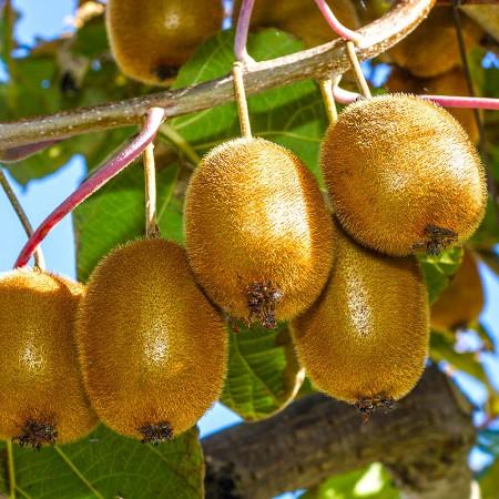 Kiwi Jenny - Arbusti fructiferi - AgroDenmar.ro