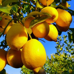 Lamai 4 stagioni - Arbusti fructiferi - AgroDenmar.ro