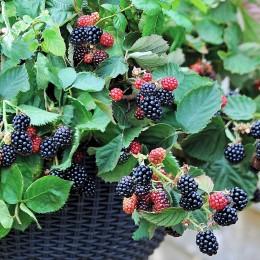 Mur Black Cascade - Arbusti fructiferi - AgroDenmar.ro