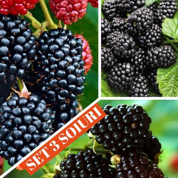 Mur - set 3 soiuri - Arbusti fructiferi - AgroDenmar.ro