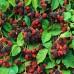 Arbusti fructiferi - Mur Thornfree