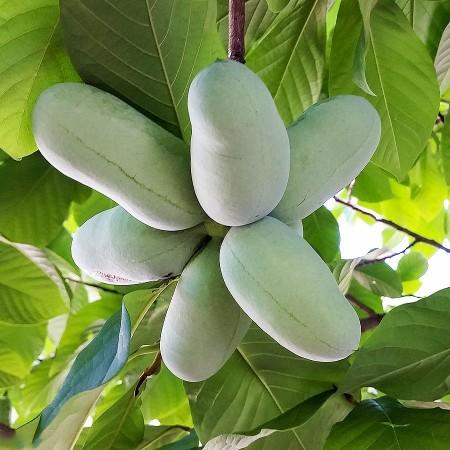 Pawpaw Prima - Banana nordului - Arbusti fructiferi - AgroDenmar.ro