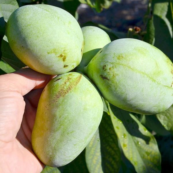 Arbusti fructiferi - Pawpaw Sunflower - Banana nordului
