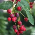 Pom de Stafide - Merisor de miere (Canadensis)