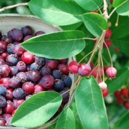 Pom de Stafide - Merisor de miere (Lamarckii) - Arbusti fructiferi - AgroDenmar.ro