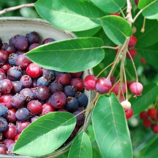 Arbusti fructiferi - Pom de Stafide - Merisor de miere (Lamarckii)