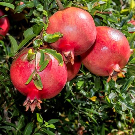 Rodie - Rodiu pom productiv - Arbusti fructiferi - AgroDenmar.ro
