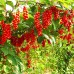 Arbusti fructiferi - Schisandra chinensis