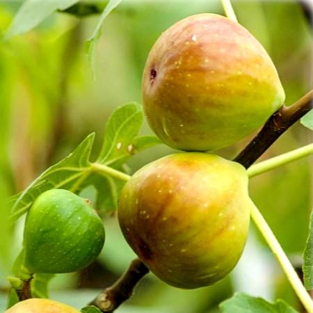 Smochin Brogiotto Bianco - Arbusti fructiferi - AgroDenmar.ro