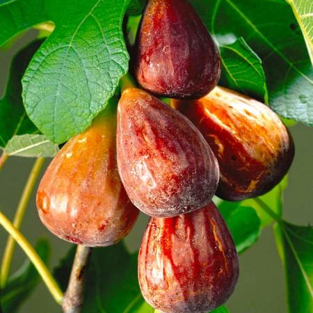 Smochin Brown Turkey - Arbusti fructiferi - AgroDenmar.ro