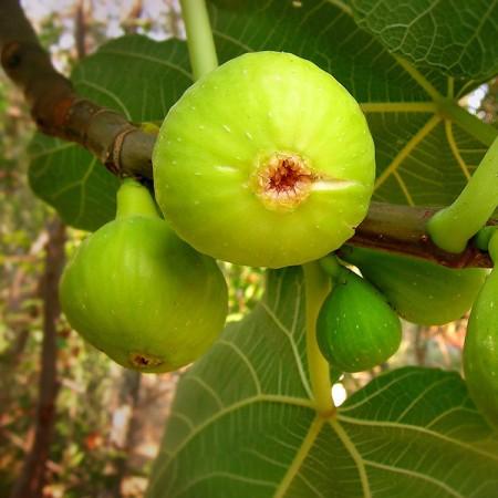 Smochin Dottato - Arbusti fructiferi - AgroDenmar.ro